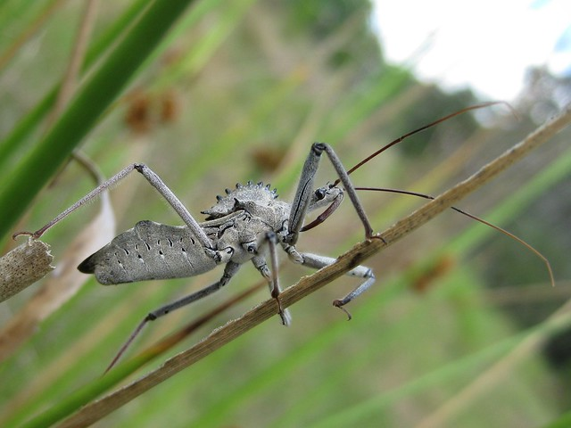 Wheel Bug Arilus cristatus, Canon POWERSHOT SD1100 IS