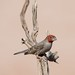 The Red-headed Finch by Ian.Kate.Bruce's Wildlife