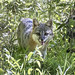 Gray Fox by jerryherman1