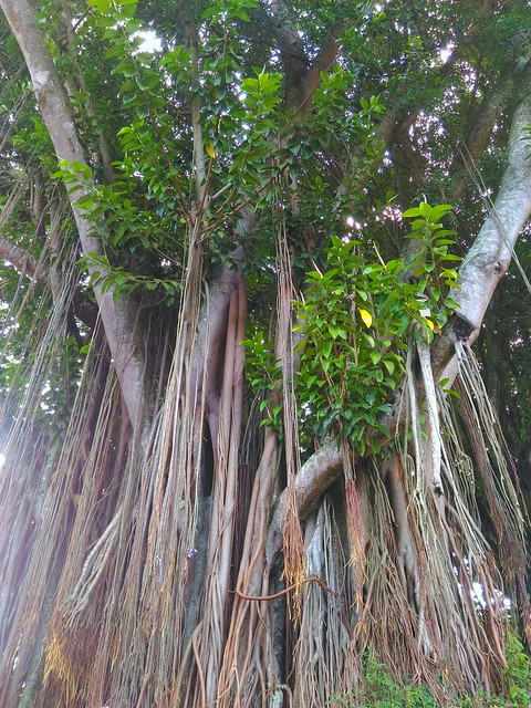 Banyan tree..