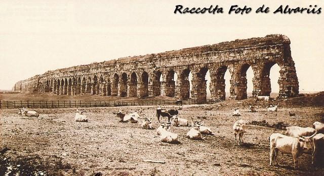 1900 ca 2016 buoi al pascolo presso l'acquedotto claudio, foto by Gianni Dedon