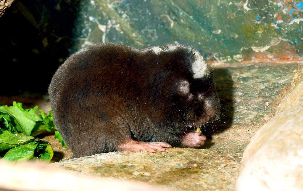 Damarland Mole Rat