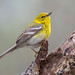 Pine warbler by Phiddy1
