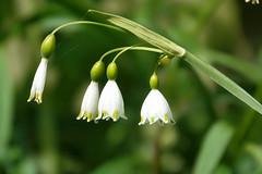 Sneeuwklokje (Galanthus)