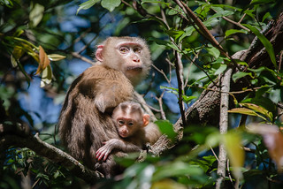 Macaca leonina, Northern pig-tailed macaque - Khao Yai National Park