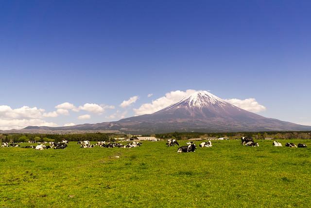 Fuji and Cows