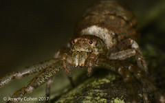 Running crab spider (Tmarus angulatus)