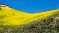 Super Bloom in Mulholland Highway, Santa Monica Mountains National Recreation Area