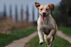 Merle running