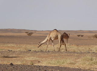Camels in the desert (2)
