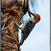 Red-bellied Woodpecker by Artista Imagini