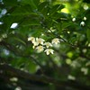 Japanese snowbell with my SIGMA DP3 Merrill (2/3)