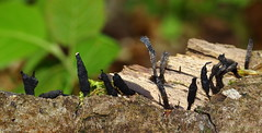 Dead Moll's Fingers (Xylaria longipes)