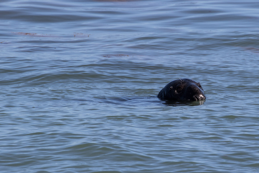 Common Seal in Durlston Bay - Click to show full size