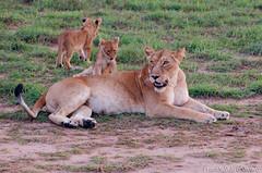 Lion Murchison