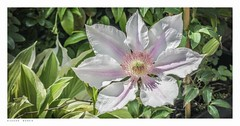 Clematis on my wall today.