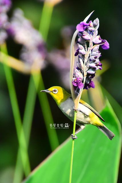 20170531 植物園-綠繡眼 (11), Nikon D5500, IX-Nikkor 24-70mm f/3.5-5.6