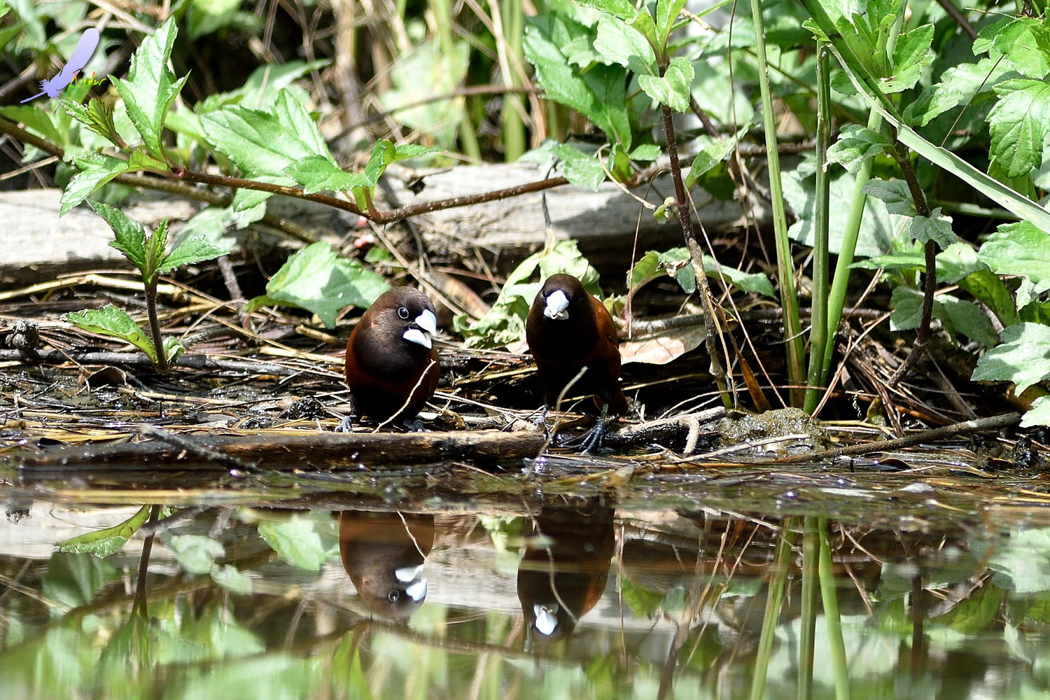 Chestnut_Munia_4838