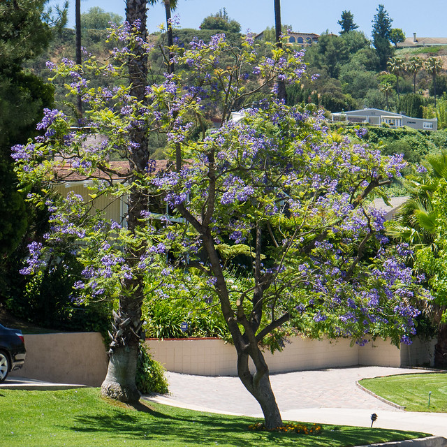 Beverly Hills Jacaranda tree, Panasonic DMC-G2, Lumix G Vario 14-42mm F3.5-5.6 Asph. Mega OIS