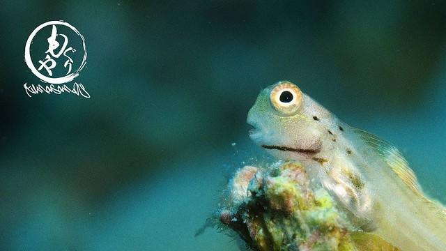 イシガキカエルウオ幼魚ちゃんも大量発生中♪