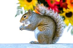 Nomnom Squirrel
