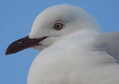 Sea Gull at Scarborough (7)