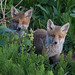 Fox Cubs, Vulpes vulpes by michael.smith86