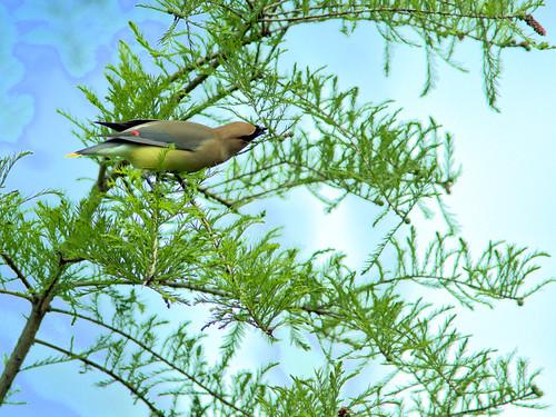 Cedar Waxwing 06-20170521