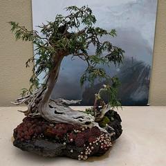 #cedar #bonsai w/ #succulents & #art #artwork ... #museum #botanicalgarden #PNW #federalway #miniature #tree