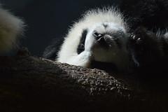 Giant panda ( Ailuropoda melanoleuca) _DSC0028