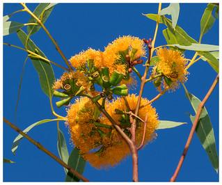 Eucalypt (gum tree) in flower.01
