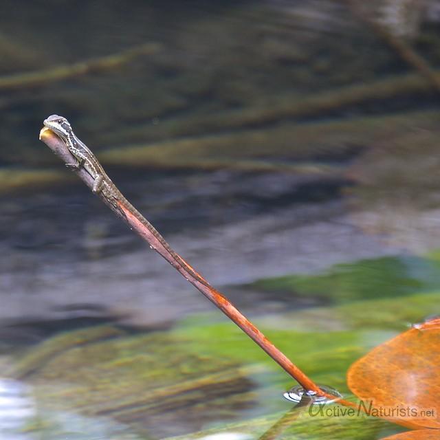 basilisc lizard 0002 Corcovado, Osa peninsula, Costa Rica