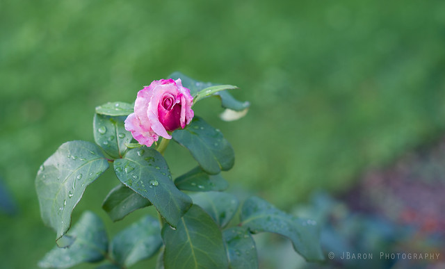 Pink Flower and Raindrops