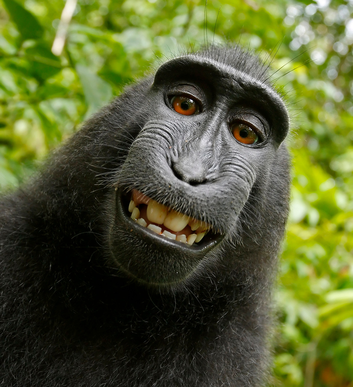 Self-portrait of a female Celebes crested macaque (Macaca nigra) in North Sulawesi, Indonesia, who had picked up photographer David Slater's camera and photographed herself with it. Via Wikipedia. PD