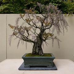 #wisteria #bonsai #miniature #tree #museum #botanicalgarden #federalway #purple