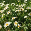 Ain't it a luverly mornin' : #garden #flowers one lone batch of daisies has appeared in the lawn