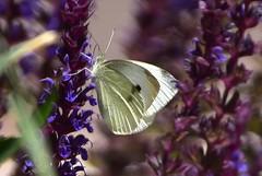 White Cabbage Moth