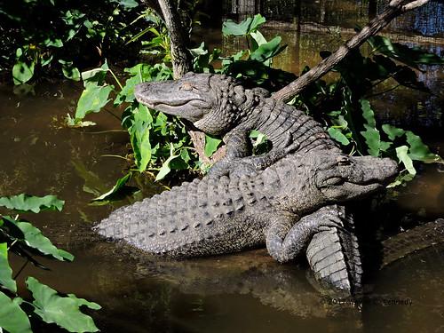 Gators at rest in Gatorland