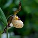 faville's lady slipper, cypripedium x favillianum