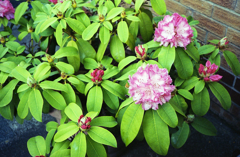 FILM - Rhododendron-2