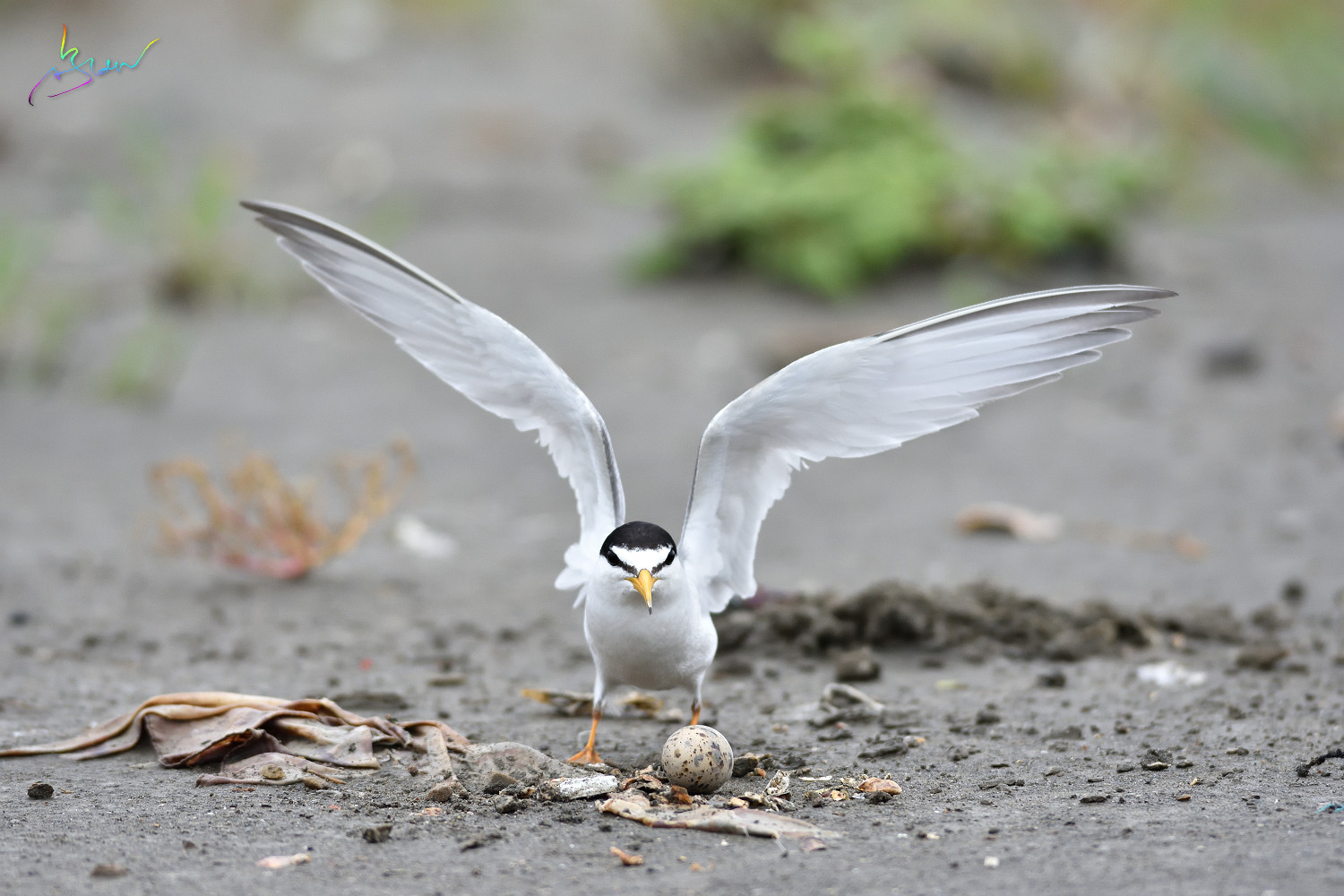 Little_Tern_4449