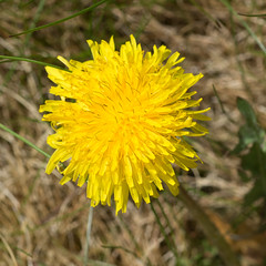 Dandelion flower in sunlight  and of-the-shelf camera. True RGB colour.