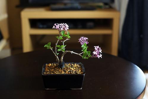 ライラックの開花
