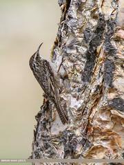 Bar-tailed Tree-creeper (Certhia himalayana)