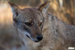 golden jackal, wilder Goldschakal, Canis aureus syriacus @ Yarkon Park, Tel-Aviv, Israel 2017 urban nature