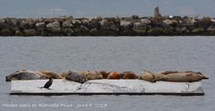 Harbor seals at Alameda Point, June 8, 2017