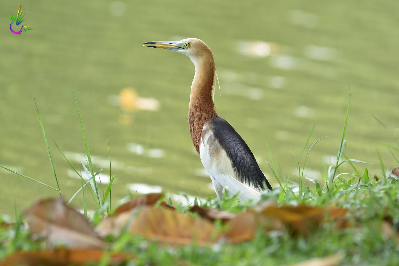 Javan_Pond_Heron_9805