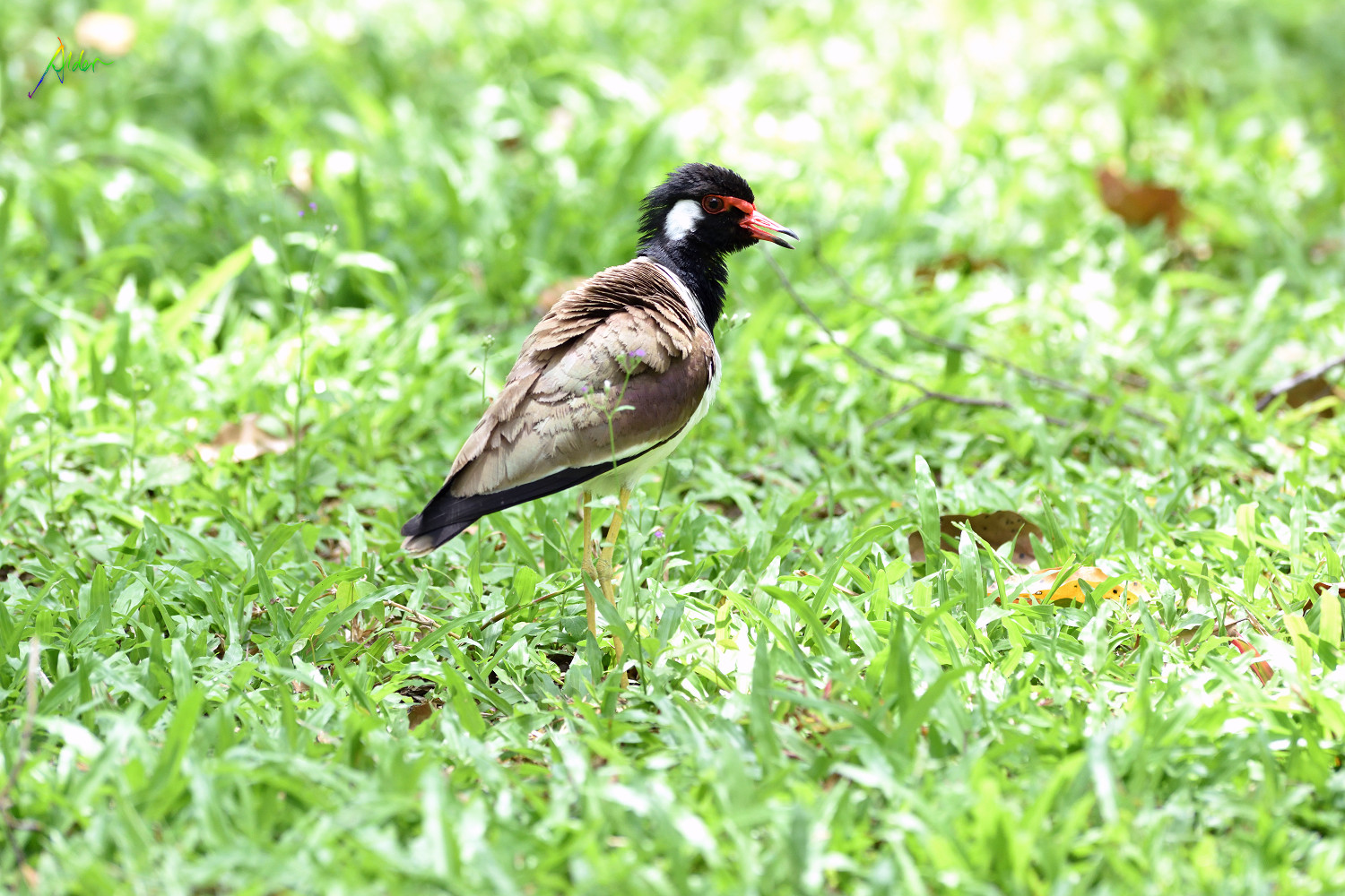 Red-wattled_Lapwing_1474