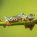 Don't mind me! - Super Tiger Legged Waxy Monkey Leaf Frog D50_8101.jpg by Mobile Lynn
