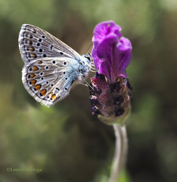 Pequeña mariposa.